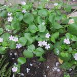 Claytonia sibirica - Claytonia sibirica - Roze winterpostelein