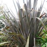 Nieuw Zeelands vlas - Phormium tenax 'Purpureum'