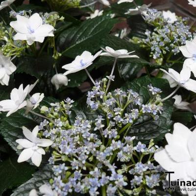 Hydrangea macrophylla 'Hanabi' -