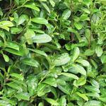 Prunus Laurocerasus 'Rotundifolia' - Laurierkers - Prunus Laurocerasus 'Rotundifolia'