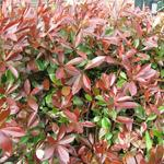 Photinia x fraseri 'Red Robin' - Glansmispel