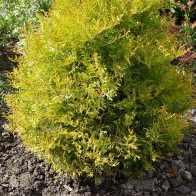 Thuja occidentalis 'Rheingold' - Westerse Levensboom