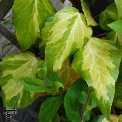 Hedera colchica 'Sulphur Heart' -
