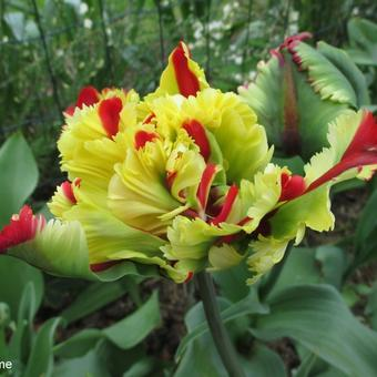 Tulipa 'Double Flaming Parrot'
