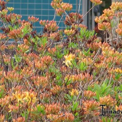 Rhododendron 'Lemonora' -