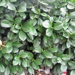 Prunus laurocerasus 'Etna' - Laurierkers - Prunus laurocerasus 'Etna'