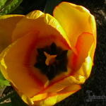 Tulipa 'Blushing Apeldoorn'  -