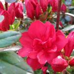 Rhododendron 'Moederkensdag' - Japanse azalea - Rhododendron 'Moederkensdag'