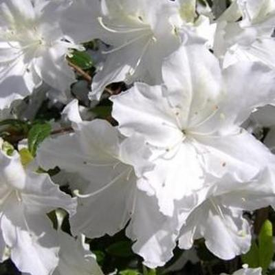 Rhododendron luteum 'Snow Gold' -