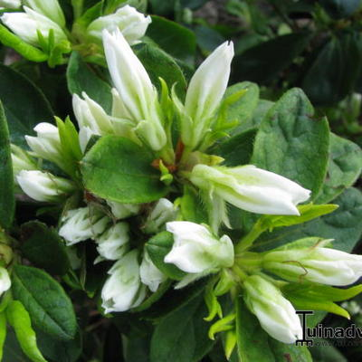 Rhododendron 'Snow' -
