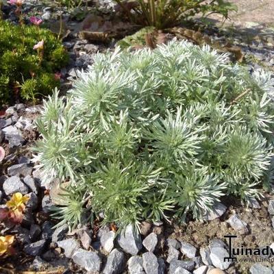 Artemisia schmidtiana -