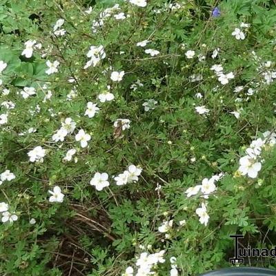 Potentilla fruticosa 'Abbotswood' - Struikganzerik - Potentilla fruticosa 'Abbotswood'