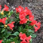 Rhododendron 'Baden-Baden' - Dwergrododendron - Rhododendron 'Baden-Baden'