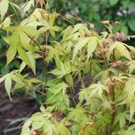 "Acer palmatum ""Katsura"" - Japanse esdoorn"