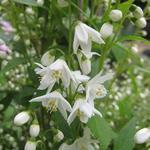 Deutzia gracilis 'Nikko' - Bruidsbloem - Deutzia gracilis 'Nikko'