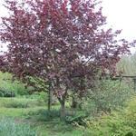 Corylus colurna 'Te-Terra Red' -