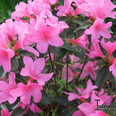 Rhododendron  'Madame van Hecke' -