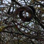 Salix udensis 'Sekka' - Bandwilg - Salix udensis 'Sekka'