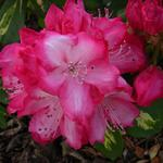 Rhododendron 'President Roosevelt' - Rododendron