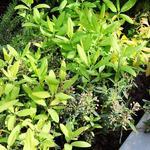 Kalmia  angustifolia 'Rubra' - Kalmia  angustifolia 'Rubra' - Lepelboom, Laurierroos