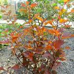 Physocarpus opulifolius 'Diable d'Or' - Blaasspirea - Physocarpus opulifolius 'Diable d'Or'