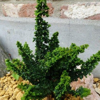 Chamaecyparis obtusa 'Chirimen' -