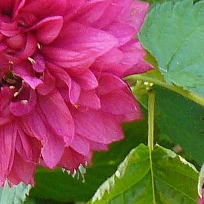 Rubus spectabilis 'Flore Pleno'  -