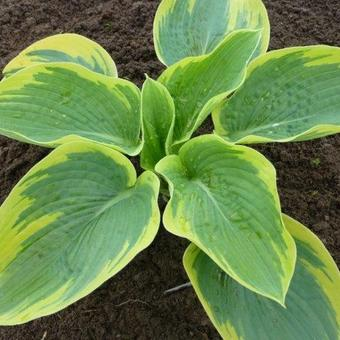 Hosta 'Goldbrook Glory'