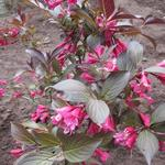 Weigela florida 'Alexandra' - Weigelia