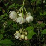 Staphylea pinnata - Geveerde pimpernoot, paternosterbollekesboom - Staphylea pinnata