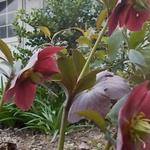 Helleborus orientalis 'Red Hybrids' - Nieskruid - Helleborus orientalis 'Red Hybrids'