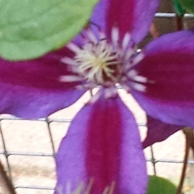 Clematis 'Mrs. N. Thompson' - Bosrank