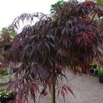 Acer palmatum 'Tamukeyama' - Acer palmatum 'Tamukeyama' - Japanse esdoorn