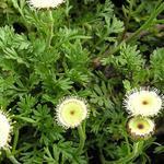 Leptinella atrata - Leptinella atrata - Leptinella