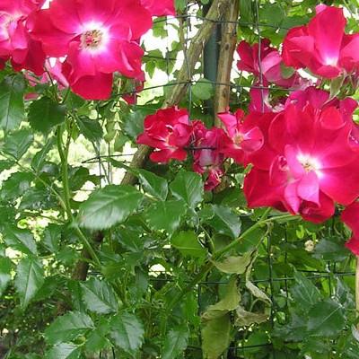 Rosa 'Dortmund' -