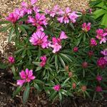 Rhododendron ponticum 'Graziella' - Rhododendron ponticum 'Graziella' - Pontische rododendron