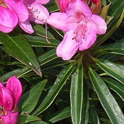 Rhododendron ponticum 'Graziella' -