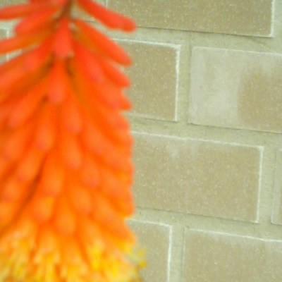Kniphofia uvaria 'Grandiflora' -