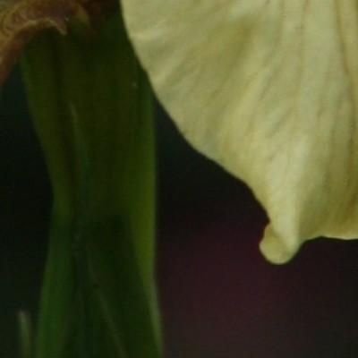 Iris foetidissima var. citrina -