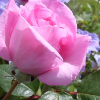 Rosa 'Ghita Renaissance' -