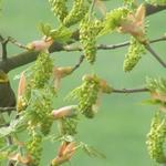Acer pseudoplatanus - Gewone esdoorn - Acer pseudoplatanus