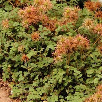 Stekelnootje Acaena Microphylla Kupferteppich