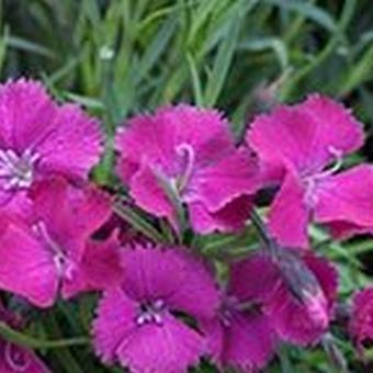 Dianthus 'Sops in Wine'