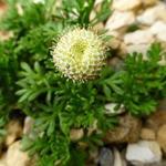 Cotula pyrethrifolia - Cotula pyrethrifolia - Vedermos, speldenkussenplant