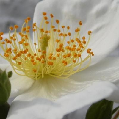 Rosa helenae -