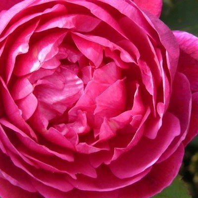 Rosa 'Noble Antony' -