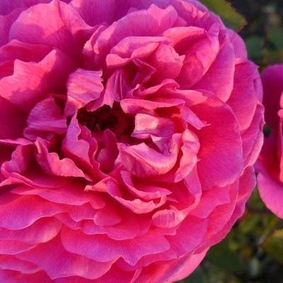 Rosa 'Cottage Rose' -