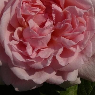 Rosa 'Eglantyne' -