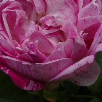 Rosa 'Honorine de Brabant' -