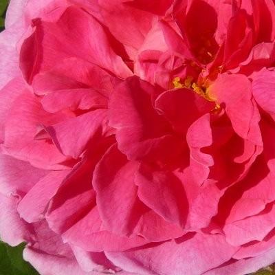 Rosa 'John Clare' -